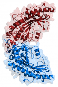 Creatine_kinase_1qh4_full